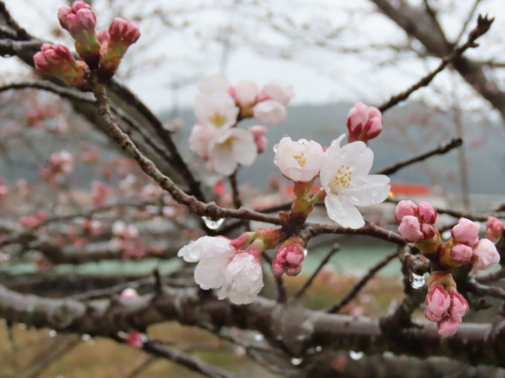 美波羅川千本桜開花状況(R2 3/28)