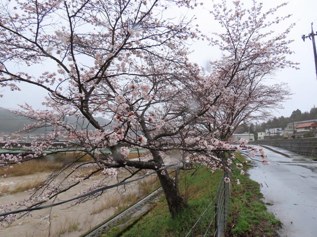 美波羅川千本桜開花状況(R2 4/1)
