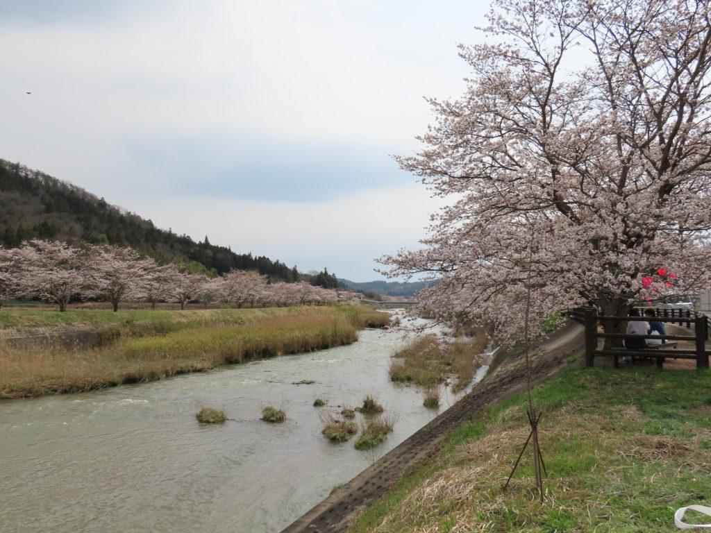 美波羅川千本桜開花状況(R2 4/3)