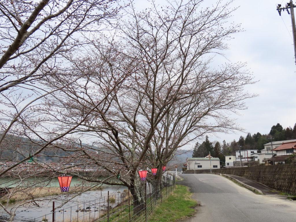 美波羅川千本桜開花状況(R3 3/24)