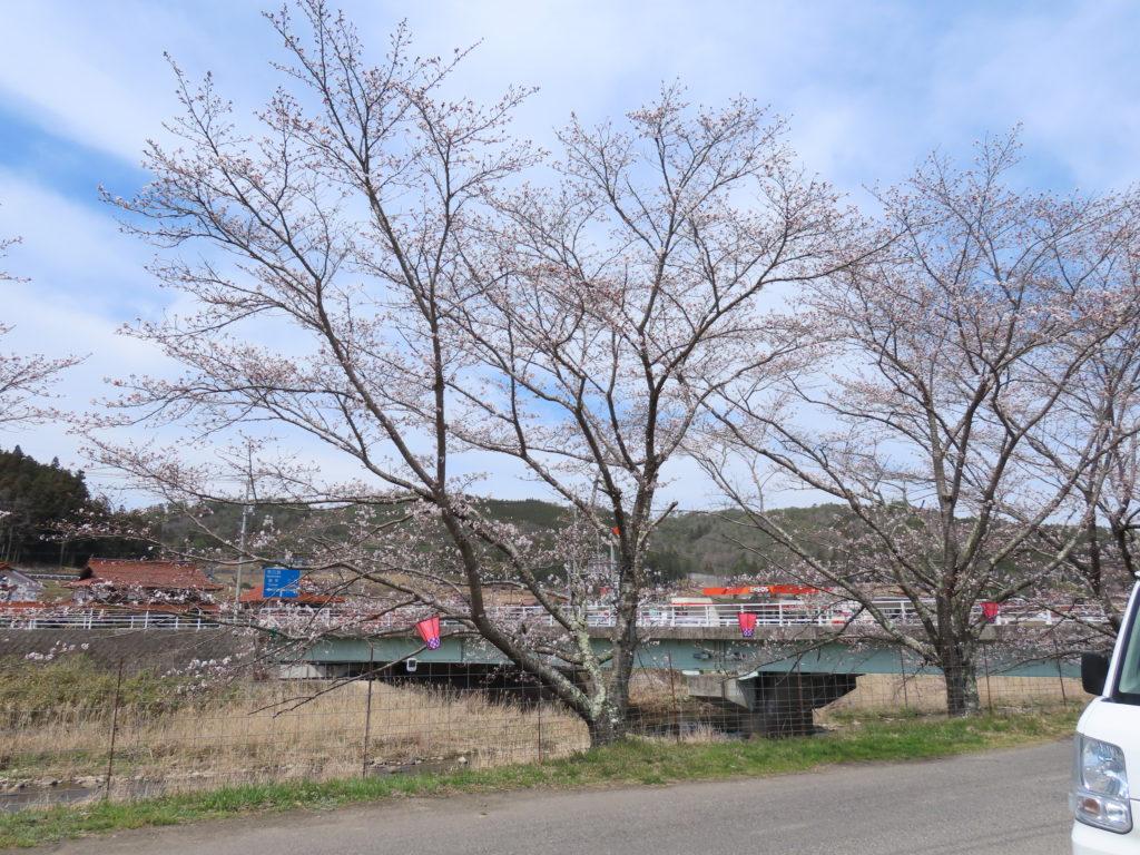 美波羅川千本桜開花状況(R3 3/27)