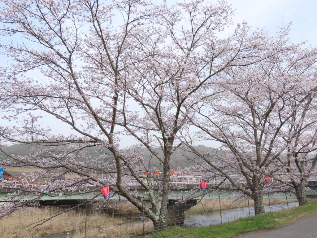 美波羅川千本桜開花状況(R3 3/30)