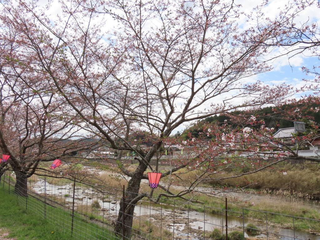 美波羅川千本桜開花状況(R3 4/6)